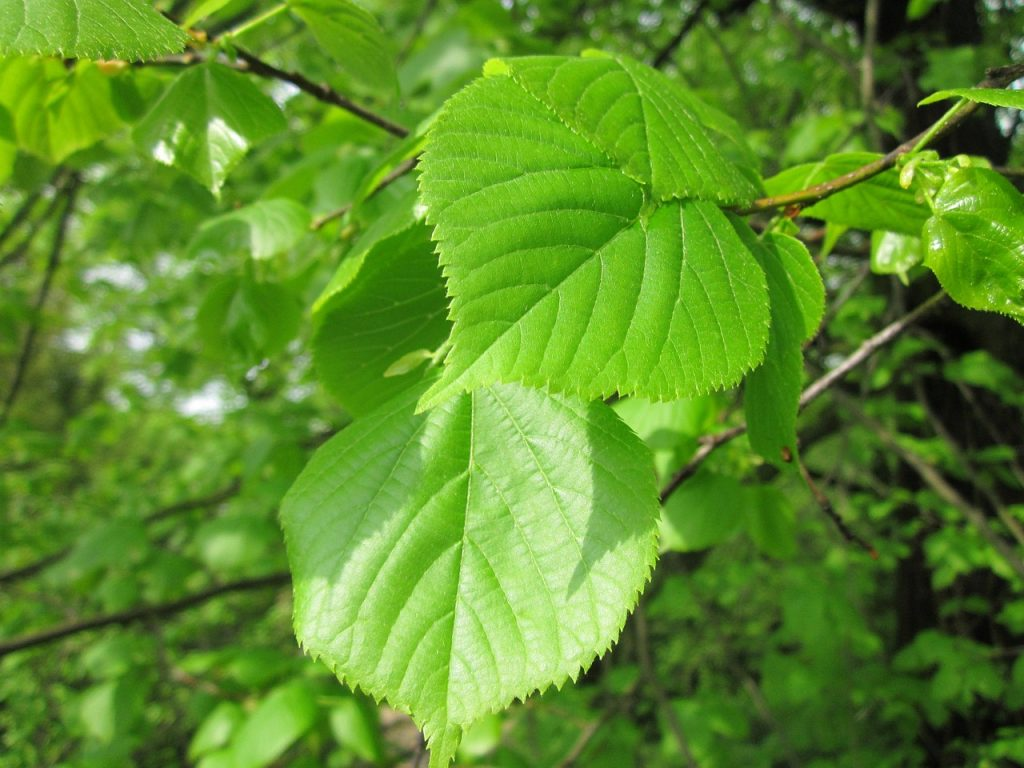 Slippery Elm has antitussive properties that are known for relieving cough